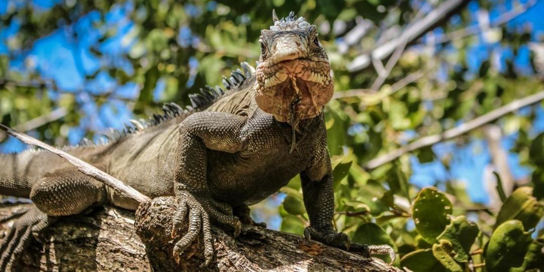 Activite insolite martinique iguane sur une branche