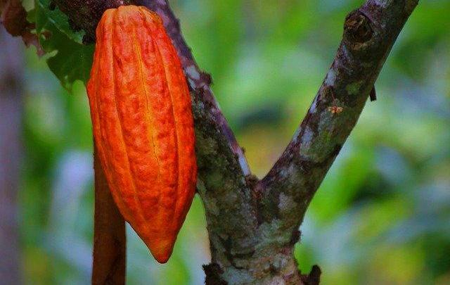 Activite trace du cacao